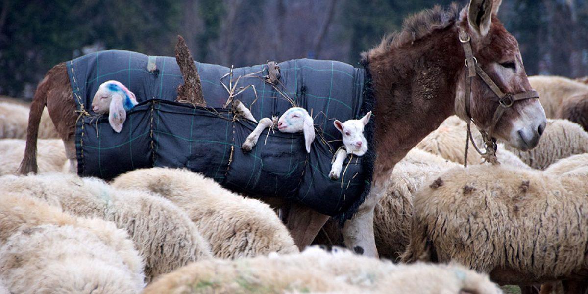 Reportage sulla dura vita di un pastore di pecore in Lombardia nel 2012
